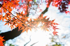 Beautiful Red Japanese maple tree leaves on autumn. Royalty Free Stock Photography