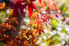 Beautiful Red Japanese maple tree leaves on autumn. Stock Photography