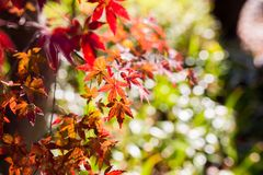 Beautiful Red Japanese maple tree leaves on autumn. Royalty Free Stock Photos