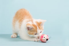 Beautiful red kitten playing with a pink toy mouse. On a blue background Stock Images