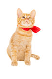 Beautiful red kitten with ribbon Royalty Free Stock Photography