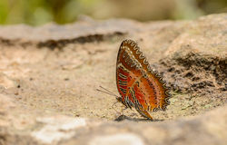 Beautiful Red Lacewing butterfly eat mineral in nature Stock Image