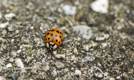 Beautiful red lady bug Stock Images