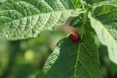 A beautiful red ladybug on a green leaf Royalty Free Stock Images