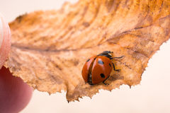 Beautiful red ladybug walking on a dry leaf Royalty Free Stock Images