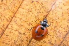 Beautiful red ladybug walking on a dry leaf Stock Photo