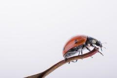 Beautiful red ladybug walking on a dry leaf Royalty Free Stock Image