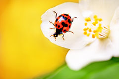 Beautiful Red ladybug. Royalty Free Stock Photography