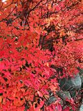 A beautiful red leaf in autumn of park in japan. A beautiful red leaf that going to fall really soon in autumn Stock Images
