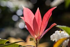 Beautiful red leafs closeup in bright sunlight on blurred background. Stock Image