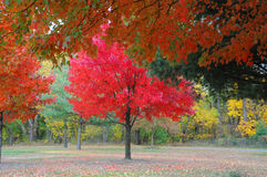 Beautiful red-leaved tree. Tree with beautiful red leaves framed in an Autumnal setting of trees, with a misty carpet of fallen leaves Royalty Free Stock Image