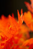 Beautiful red leaves. Royalty Free Stock Photography