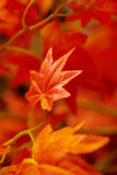 Beautiful red leaves. Royalty Free Stock Photo