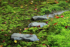 Beautiful red leaves , fallen from aspen, lie on the Moss Stock Photography