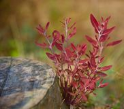 Red leaves of a plant isolated blurry photo. Beautiful red leaves of a plant with a round shape timber unique blurry photo royalty free stock photography