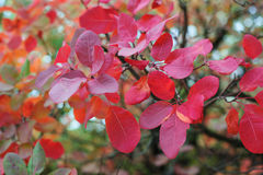 Beautiful red leaves on a tree in autumn Park Stock Photos