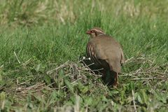 A pretty Red-Legged Partridge, Alectoris rufa, searching for food in a field in the UK. A beautiful Red-Legged Partridge, Alectoris rufa, searching for food in royalty free stock photos