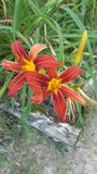 Red lillies. Beautiful red lillies with yellow centers royalty free stock photography
