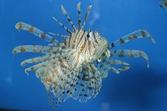 Beautiful red lion fish stock photos