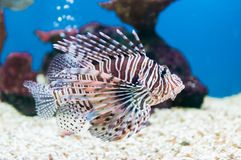 Beautiful red lionfish Pterois miles portrait Royalty Free Stock Images