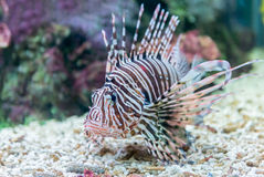 Beautiful red lionfish Pterois miles portrait Royalty Free Stock Photos