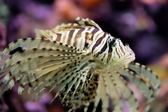 Beautiful red lionfish Pterois volitans. In his coral reef Royalty Free Stock Photography