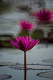 Beautiful red lotus Royalty Free Stock Images