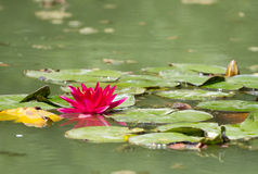 Beautiful red lotus Royalty Free Stock Photo