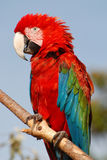 Beautiful red macaw sitting on a branch. Red macaw parrot sitting on a branch Stock Photos