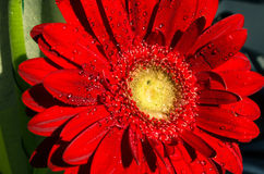 Beautiful red magenta flower on green background .bright red gerbera with dew drops on top. Royalty Free Stock Photography