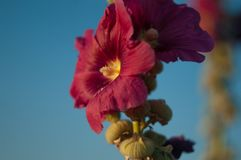Beautiful red mallow flowers on the blue sky background. Hollyhock Flowers Royalty Free Stock Photo