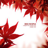 Beautiful red maple border Royalty Free Stock Photo
