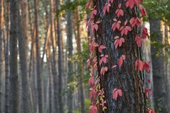 Beautiful red maple climbing on pine tree in a forest during sunset stock photos