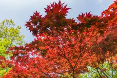 Beautiful red maple leaf against the blue sky in the Japanese garden in the Hague, Netherlands royalty free stock images