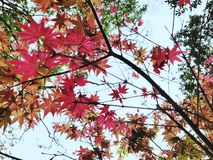 Beautiful red maple leaf stock photo