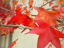 The Red maple leaves. The beautiful red maple leaves royalty free stock photography