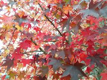 The Red maple leaves. The beautiful red maple leaves royalty free stock photo