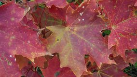 Beautiful red maple leaves. Beautiful red maple leaves in autumn stock photos