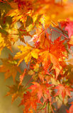 Beautiful red maple leaves at fall Royalty Free Stock Photos