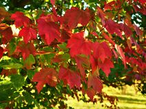 Free Beautiful Red Maple Leaves In Autumn Stock Photo - 130581020