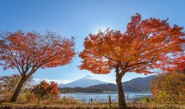 Beautiful red maple trees and Fuji mountain. Beautiful red maple trees and Fuji mountain at Kawaguchiko lake, Japan royalty free stock photography