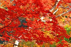 Beautiful Red Maples Royalty Free Stock Photo