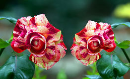 Beautiful red meteor rose flowers. Rare and beautiful red meteor rose slowers in a tropical garden royalty free stock photo