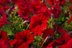 Beautiful red million bells flower, calibrachoa. Spring  with many  bloom in springtime Stock Image
