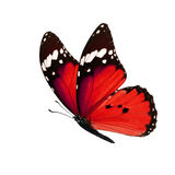 Monarch butterfly isolated. Beautiful red monarch butterfly isolated on white background Royalty Free Stock Images