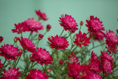 Beautiful red mums. Against a teal background royalty free stock images
