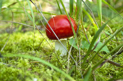 Beautiful red mushroom at the forest. Stock Image