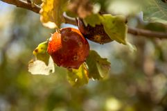 Beautiful red oak`s galls on a branch and green leaves around stock images