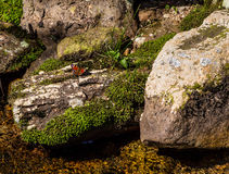 Beautiful red/orange butterfly on moss cluster and rock Royalty Free Stock Photo