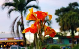 Beautiful red orange flower at a park in Costa Rica during summer. Flower blooming Stock Photo